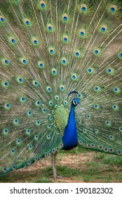 Peacock displaying full tail spred colors