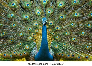 Peacock Displaying Vibrant Colors its A National Bird Of India