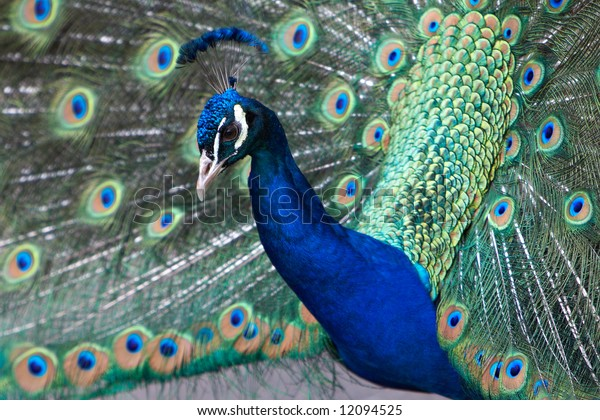 Peacock Displays Feathers