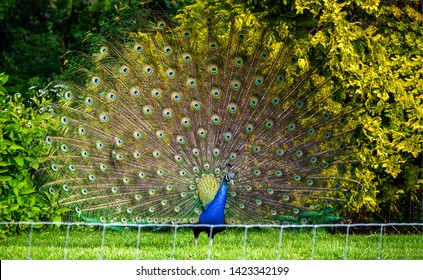 Peacock Images, Stock Photos & Vectors | Shutterstock