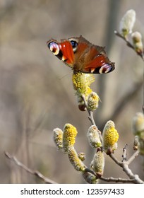 Peacock Eye butterfly on willow catkins