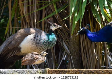 Peacock family with their baby