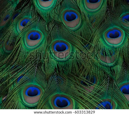 8d38df8a9809 Peacock Feather Close Up with olive green feathers and eyes with navy and  royal blue