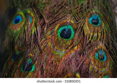 Peacock feather in closeup