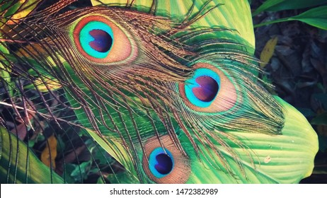 peacock feather mor pankh green 260nw 1472382989