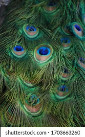 Peacock feather texture close up