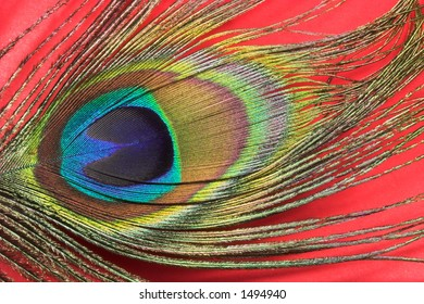 Peacock feather with vivd colors