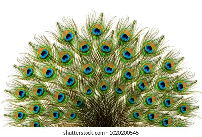 Peacock feathers. Carnival.