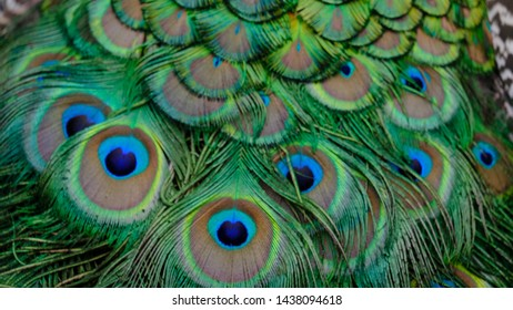 """Peacock feathers in closeup with beautiful green and blue shades.""""Pfauenauge"""""""