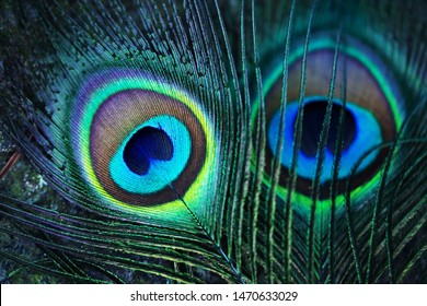 Peacock feathers. Feather eyespots of an blue peafowl (Pavo cristatus)or an Indian peafowl. The fluorescent colors are created by crystal-like structural color.