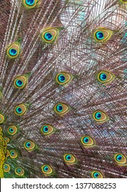 Peacock feathers on nature as background.