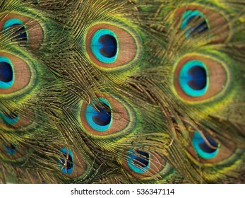 Peacock feathes