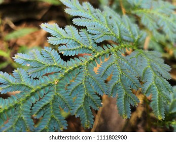 The peacock fern (Selaginella willdenowii) has iridescent blue leaves.close up of ferns leaves green,Green leaves fern  rainforest foliage plant