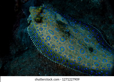 A peacock flounder resting on the bottom