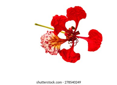 Peacock flower, Delonix regia, isolated on white background