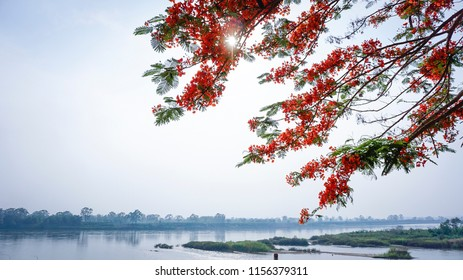 Peacock flower, name of Thai local tree, is blooming in super red fancy colored. Background of botanic ornament. Freshness beside the river. Journey on the holiday.