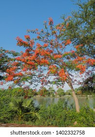 Peacock Flower tree, Flamboyant, The Flame Tree, Royal Poinciana, beautiful Thai red flower blossom on tree branch with blue sky background.