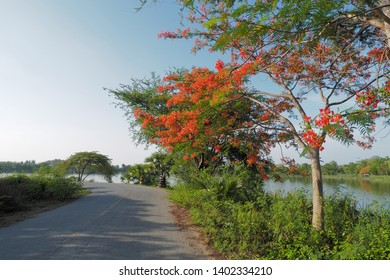 Peacock Flower tree, Flamboyant, The Flame Tree, Royal Poinciana, beautiful Thai red flower blossom on side road with blue sky background.