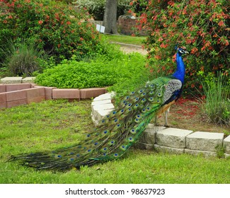 Peacock and Flowers