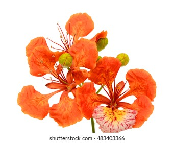Peacock flowers, Delonix regia, isolated on white background for decoration