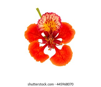 Peacock flowers isolated on white background. Saved with clipping path.