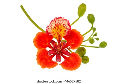 Peacock flowers isolated on white background.