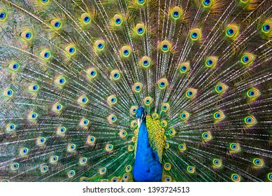 Peacock with flowing tail, ukraine