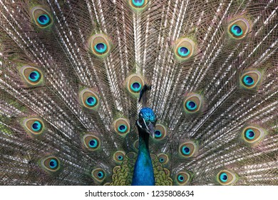 Peacock Fontelo Viseu