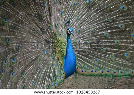 A peacock in full swing with its feathers wide open
