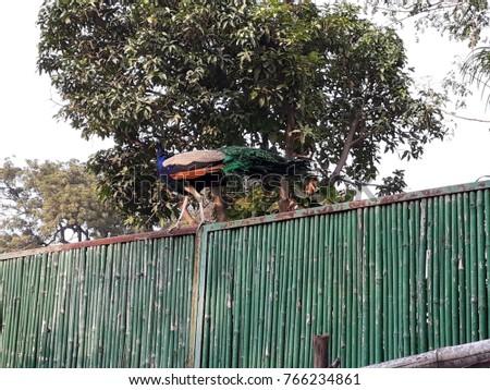 A peacock in the garden Delhi Peacock Garden Stock Photo (Edit Now) 766234861 - Shutterstock