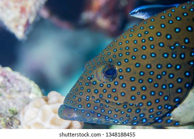 Peacock grouper (cephalopholis argus), Red Sea, Egypt