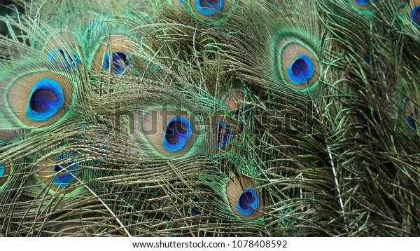 Peacock Hair Beautiful Stock Photo Edit Now 1078408592