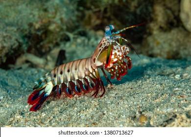Peacock, harlequin, painted or clown mantis shrimp, Odontodactylus scyllarus
