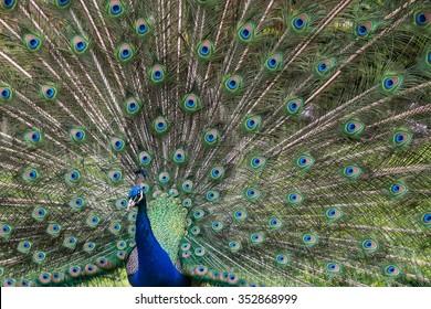 Peacock at Holland Park, London