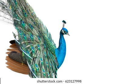 peacock isolated on white with clipping path