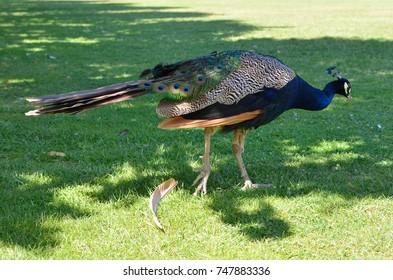 Peacock in a Lisbon park, Portugal, August 11, 2015.