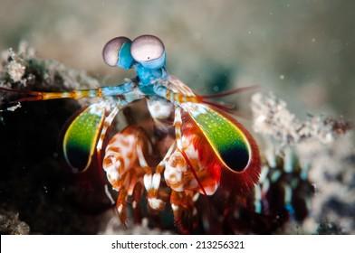 Peacock mantis shrimp in Gorontalo, Indonesia underwater photo. Also known harlequin mantis shrimp, painted mantis shrimp, or clown mantis shrimp.