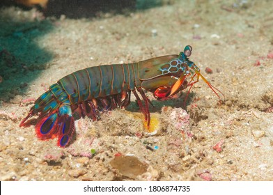 Peacock mantis shrimp, painted mantis shrimp, clown mantis shrimp or rainbow mantis shrimp (Odontodactylus scyllarus) Mindoro, Philippines