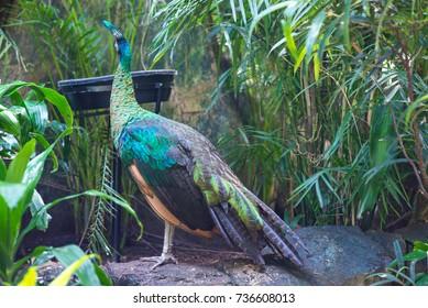 Peacock in natural