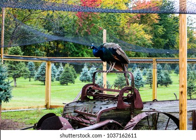Peacock on Antique Farm Equipment