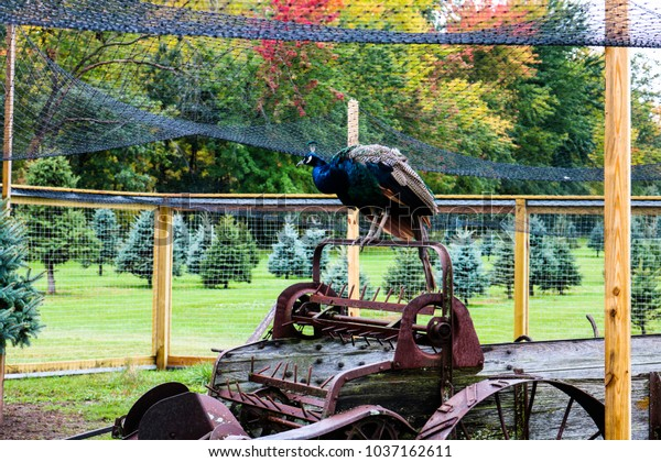 Peacock on Antique Farm Equipment