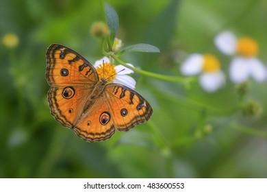 Peacock Pansy (Junonia almana javana), Beautiful Butterfly in A Garden