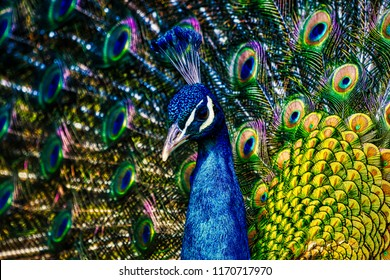 Peacock - peafowl with open tail, beautiful representative exemplar of male peacock in great metalic colors