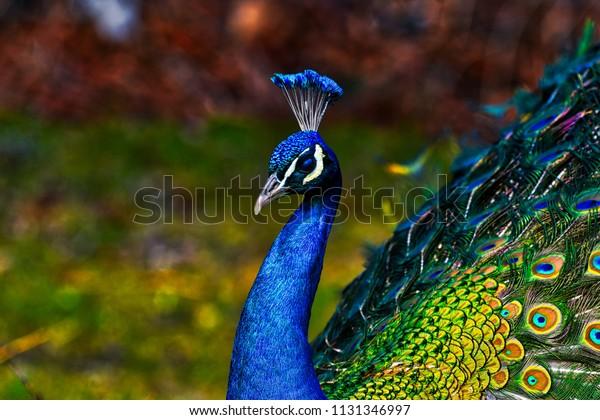 孔雀-孔雀与开放的尾巴,美丽的典范雄性孔雀在伟大的金属色彩