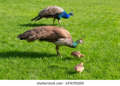 Peacock, Peahen and their two chicks on a lawn in a country estate in England