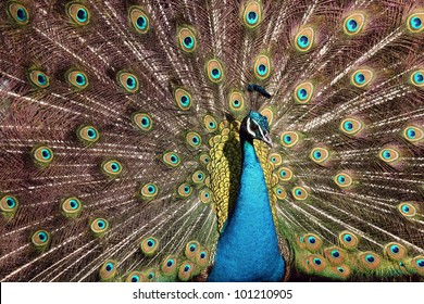 A peacock at the Philadelphia Zoo shows off his plumage to the visitors.