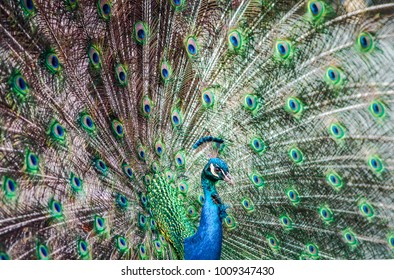 Peacock with Plummage