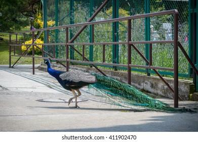 peacock runs