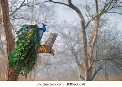 Peacock scape.  A peafowl scape ! Shot at Bandipur, India
