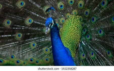 Peacock shows its colorful plumage